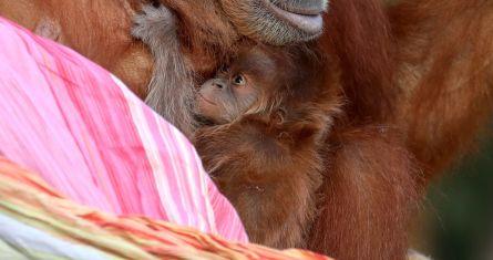 Bebé orangután de Sumatra