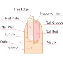 fingernails and toenails are the protective covers of fingers and toes they are formed by keratin a protein in the body that is also in hair and skin  [ 5000 x 5000 Pixel ]