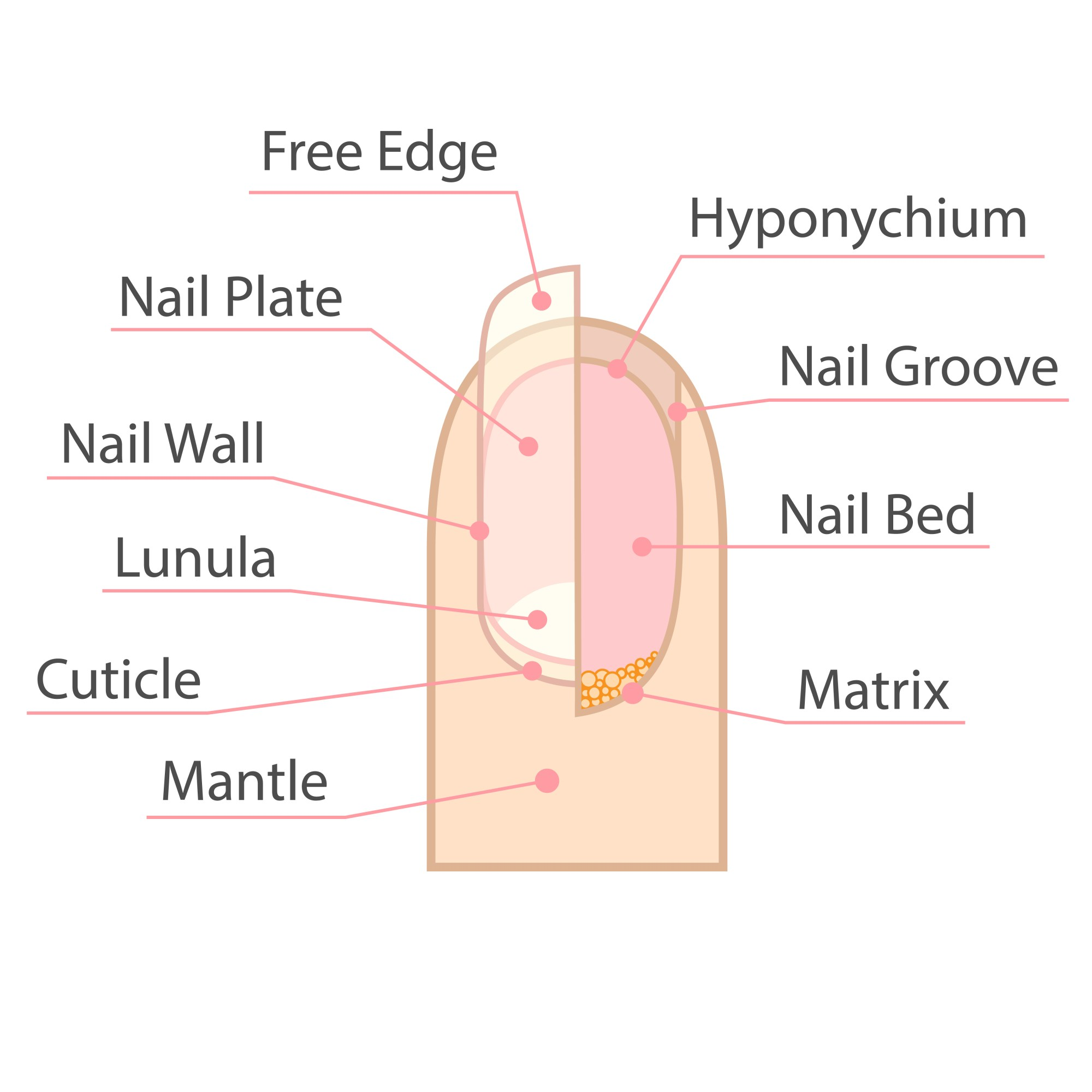 hight resolution of fingernails and toenails are the protective covers of fingers and toes they are formed by keratin a protein in the body that is also in hair and skin