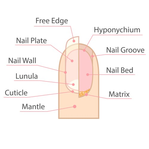 small resolution of fingernails and toenails are the protective covers of fingers and toes they are formed by keratin a protein in the body that is also in hair and skin