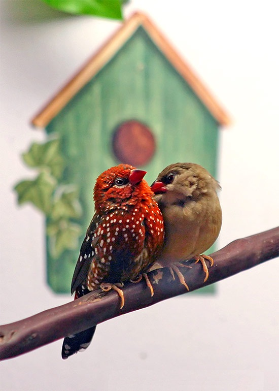 Strawberry Finch Facts As Pets Behavior Care Pictures
