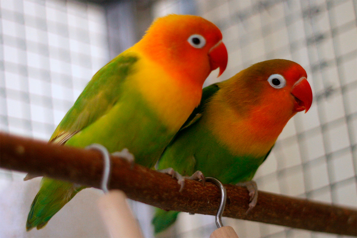 fischer s lovebird housing