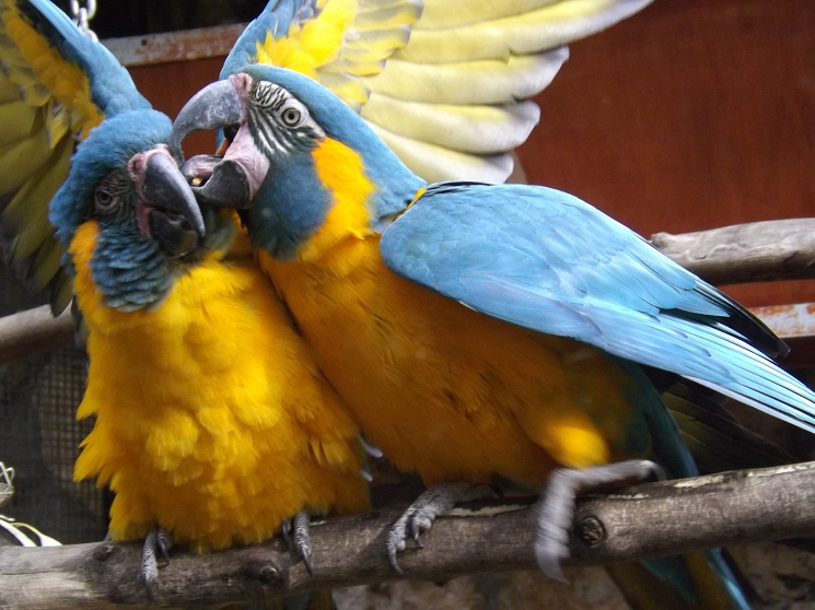 BlueThroated Macaw Facts Pet Care Temperament Pictures