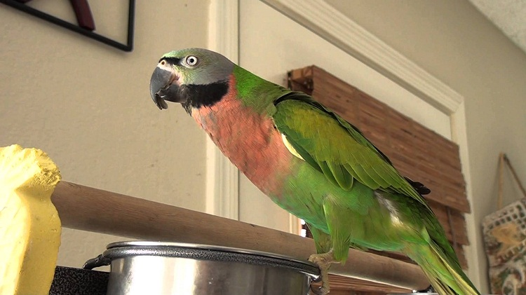 Mustached Parakeet Facts Care as Pets Temperament Pictures