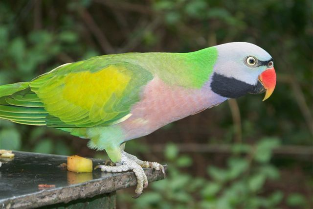 Mustache Parakeet As Pets - Desain Terbaru Rumah Modern