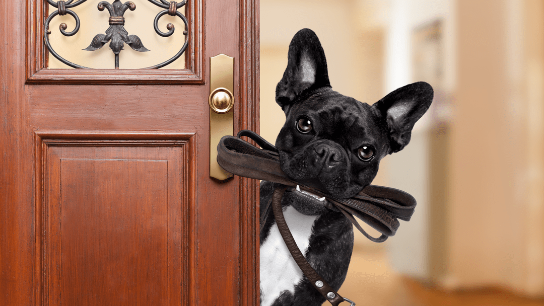 dog with leash ready to go out