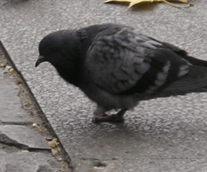 pigeon eating seed from sidewalk cracks