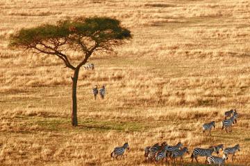 south-africa-zebra
