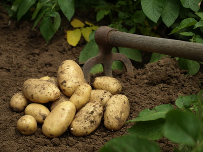 Potatoes, a perfect food for Celiacs