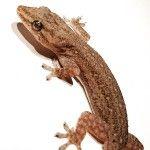 Gecko_por_A_Carlos_Herrera