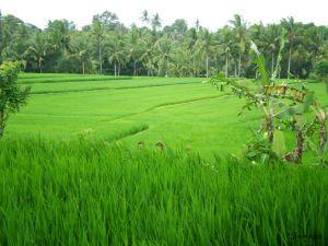 Terrazas de arroz en Ubud, Bali, Indonesia,