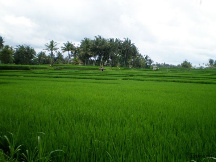 Terrazas de arroz en Ubud