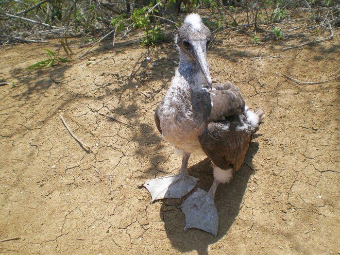 Piquero pata azul bebé -por eso sus patitas aún no son azules