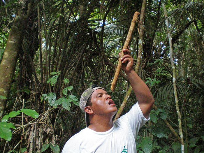 De la raíz de esta planta se puede obtener agua potable... muy útil si os perdéis en la selva!
