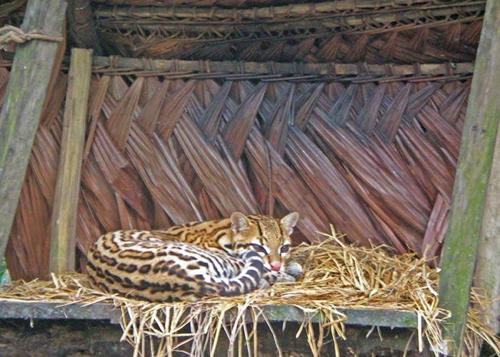 Pilpintuwasi - qué ver en Iquitos Amazonas Perú