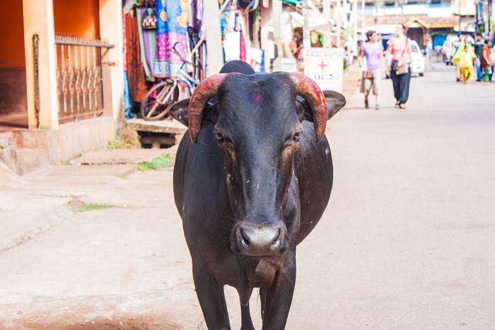 vaca-festiva-gokarna1