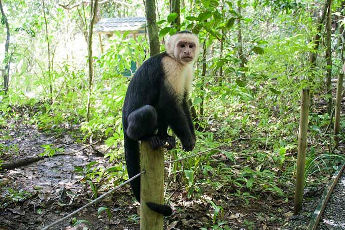 Un mono en uno de los senderos dentro del PN Manuel Antonio, Costa Rica