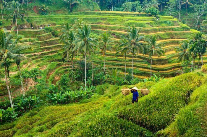 arrozales de ubud