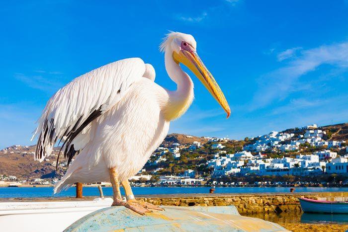 Pelicano en Grecia