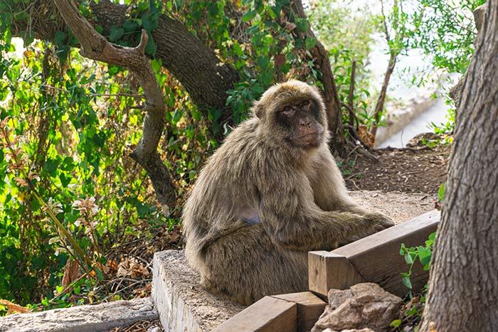 Monos en libertad en la reserva natural de Gibraltar