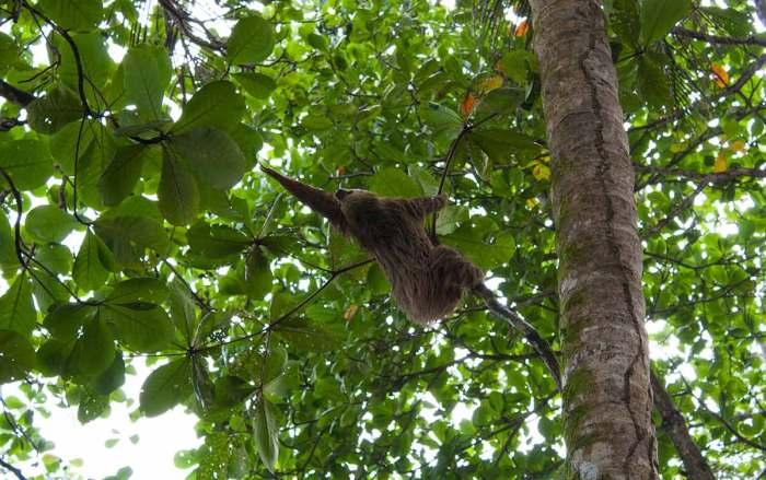 Oso perezoso en Costa Rica