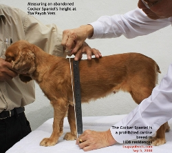Height measurement of the Cocker Spaniel. Toa Payoh Vets. Singapore HDB apartments unapproved breed.