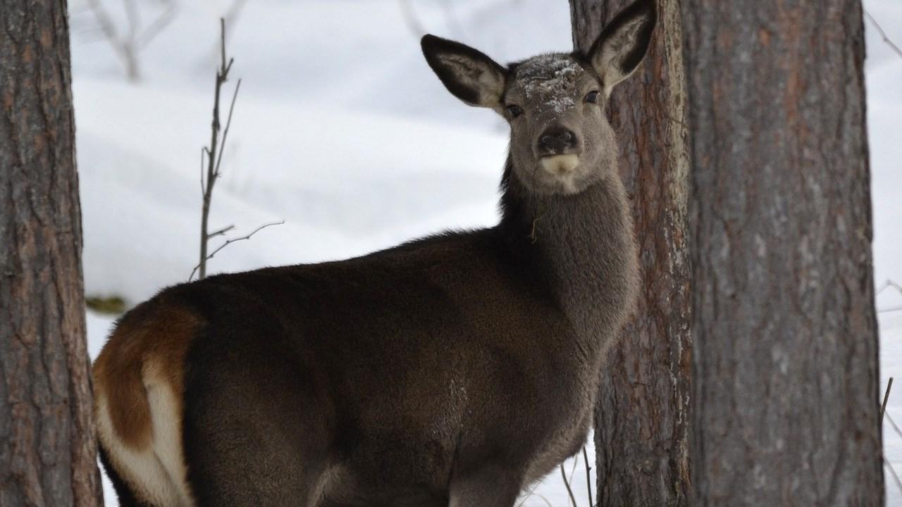deer  --  PHOTO Deer, Photo_1552425752778.jpg.jpg