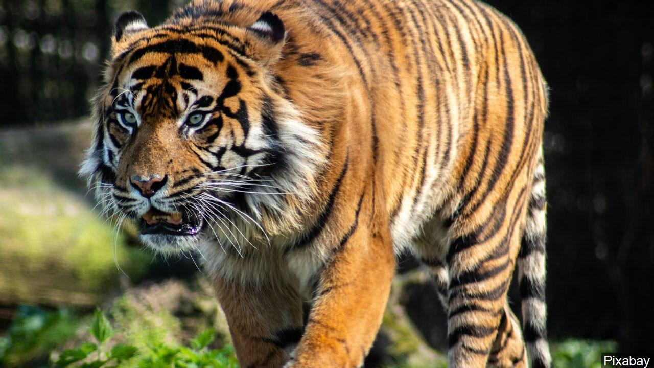 tiger, zoo_1557869769748.jpg.jpg