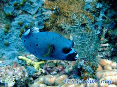 Sipadan : Pufferfish