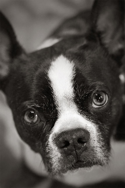 Boston Terrier Zazie