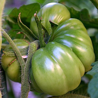 perfect green tomato on the vine