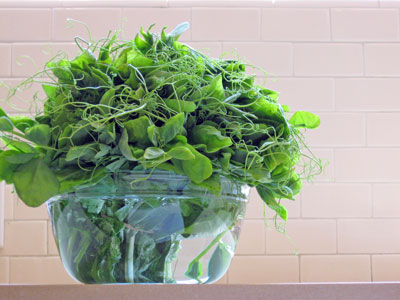 curly pea tendrils on kitchen counter