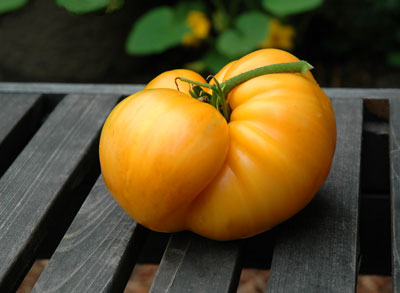 a perfect golden heirloom tomato