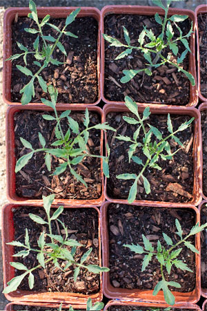 tomato seedlings ready for your garden