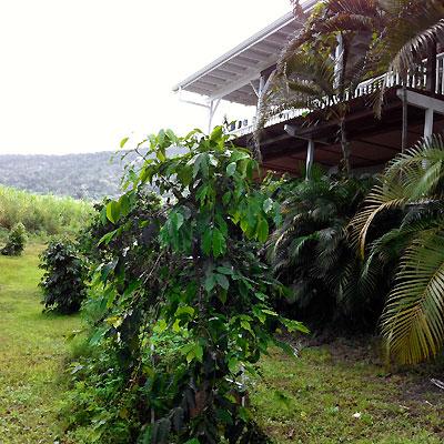 Alii Pride Coffee Farm