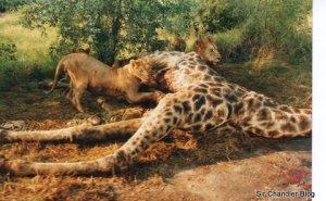 jirafa en el kruger