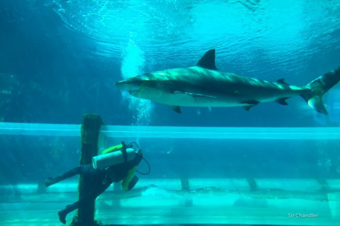 tiburones-atlantis-buzo