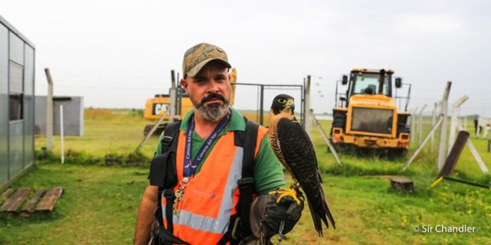 Cetrería: el trabajo oculto en muchos aeropuertos por la seguridad de los vuelos