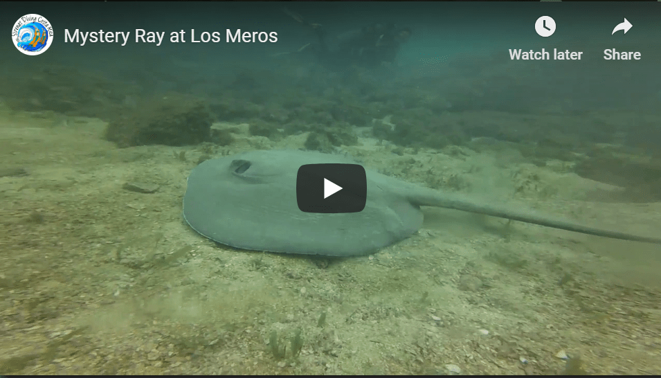 Mystery Ray at Los Meros