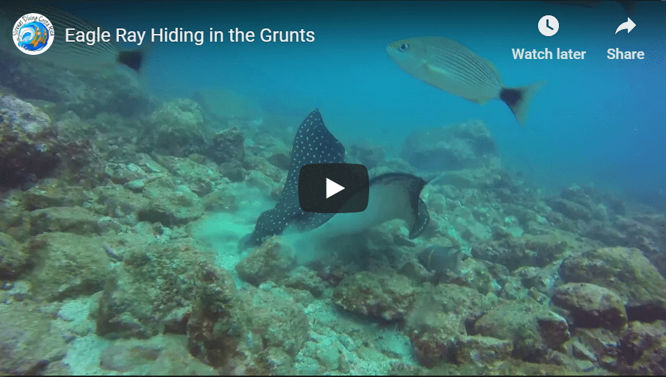Eagle Ray Hiding in the Grunts