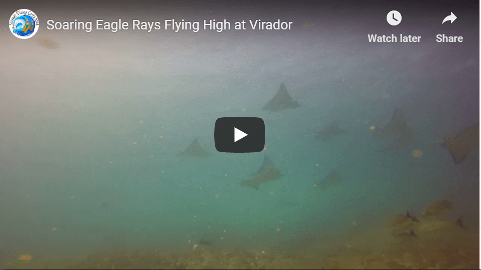 Soaring Eagle Rays Flying High at Virador