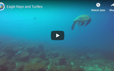 Eagle Rays and Turtles