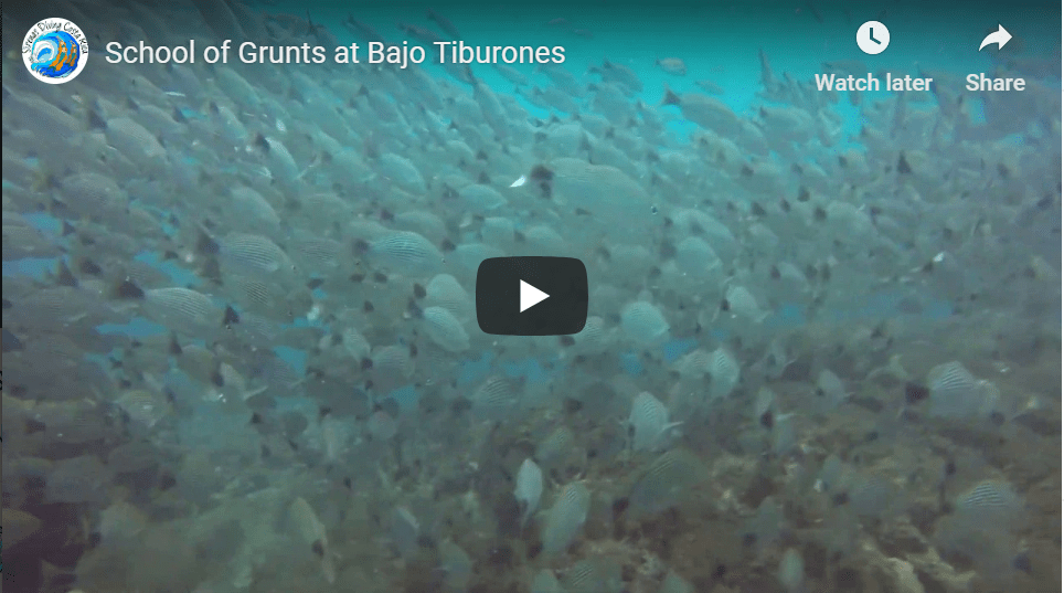 School of Grunts at Bajo Tiburones
