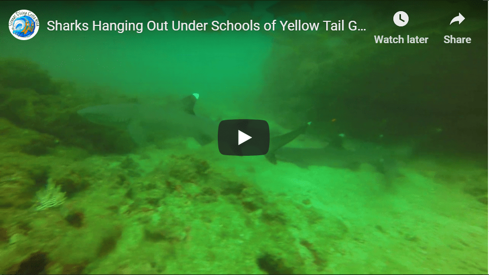 Sharks Hanging Out Under Schools of Yellow Tail Grunts