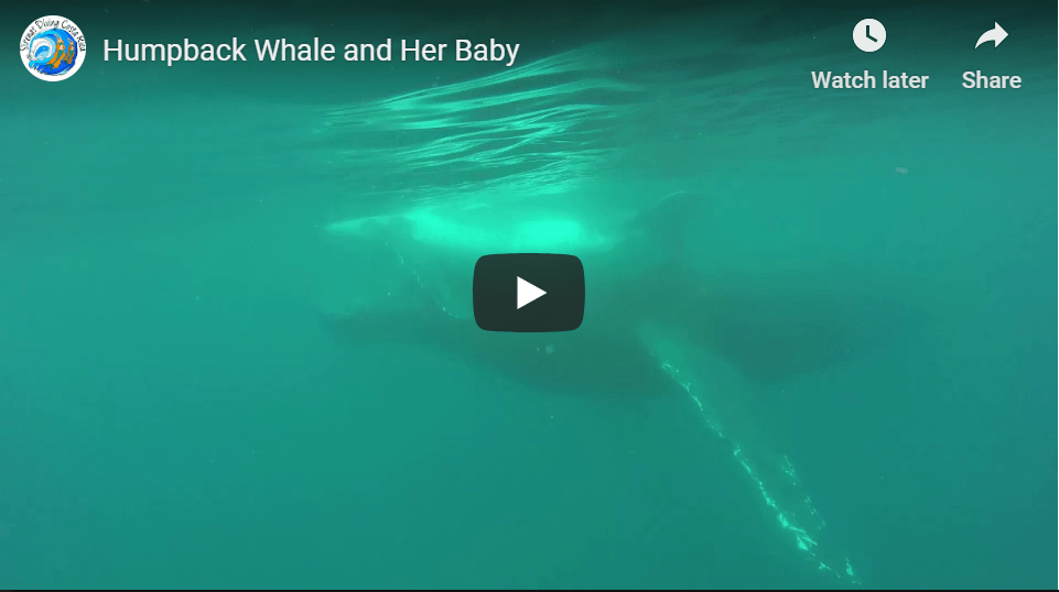 Humpback Whale and Her Baby