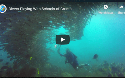 Divers Playing With Schools of Grunts