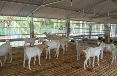 Broiler Goat Rearing