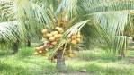 அரசம்பட்டி ரக தென்னங் கன்றுகள் விற்பனைக்கு