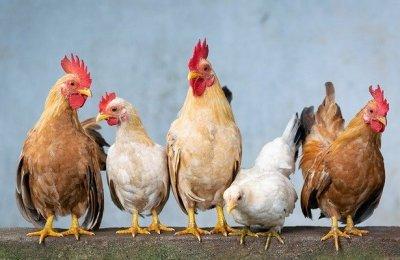 chicken 4849979 640