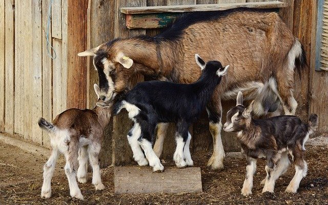 goats 2052733 640